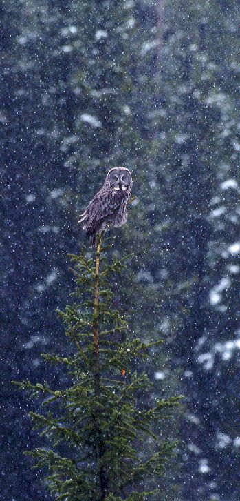 Rare Great Gray Owl near Cooke Pass during a snowstorm. by Cassie