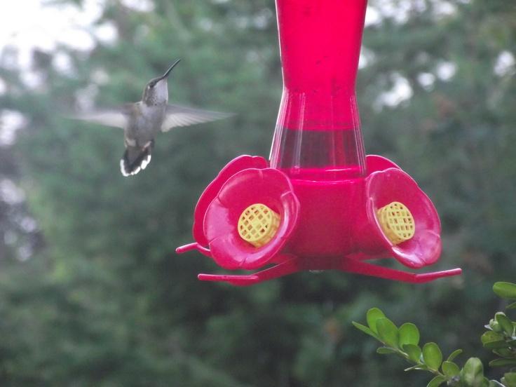 Hummingbirds in Kelowna BC:)