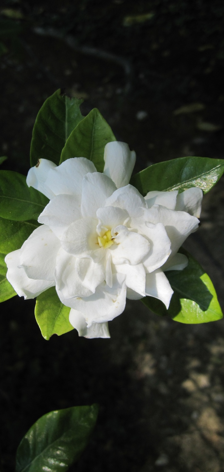 200 Best Gardenia Images On Pinterest | Gardenias, White Flowers And  Beautiful Flowers