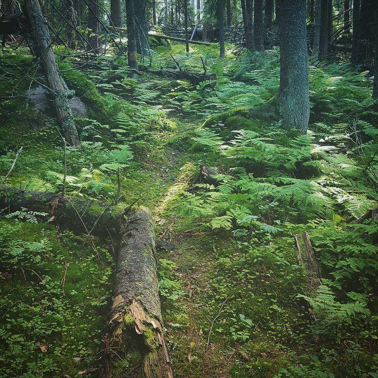 #kaunissaari #kotka #finland 2016  #forest #forestlife #nature #finnishnature #finnishsummer #green #motherearth #mothernature #silence #peace #trees #treeporn #fern #plantsofinstagram #flora #suomi #metsässä #retkeily #rauha #hiljaisuus #camping #camplife