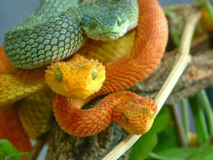 Kígyó család