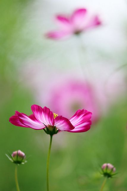 flower--- I think Cosmos are my newest favorite flower. Growing some this summer.
