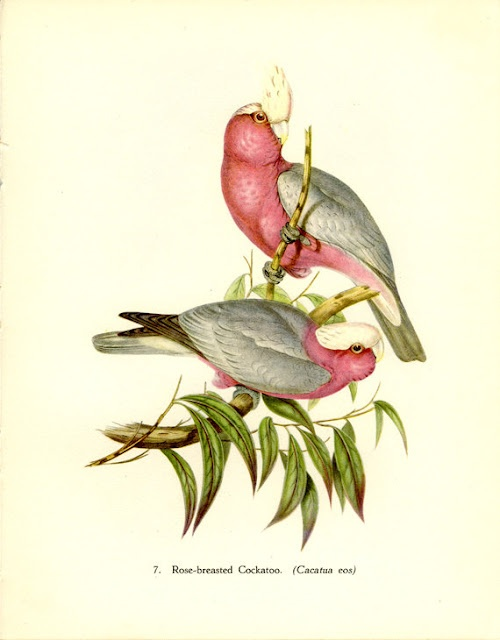 Cockatoo print by John Gould.