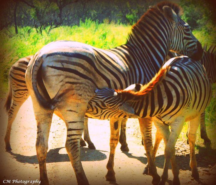 Baby Zebra Drinking Milk