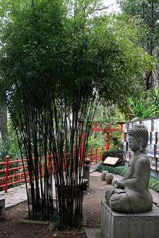 Bambú Phyllostachys nigra
