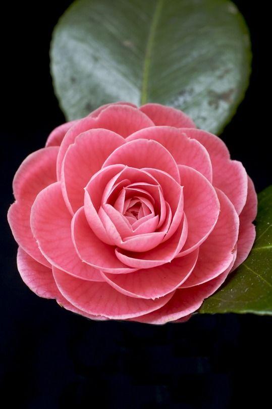 Camellia japonica [Family: Theaceae]