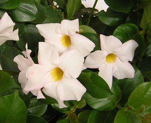 ΔΙΠΛΑΔΕΝΙΑ       Η διπλαδένια (dipladenia sanderii) ή βραζιλιάνικο…