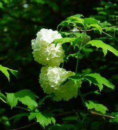 Boule de neige ou viorne obier (Viburnum opulus), arbuste du jardin