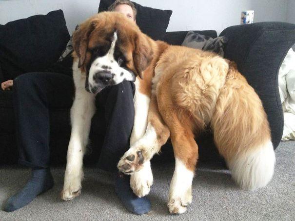 огромные собаки, которые считают себя щенками (4)