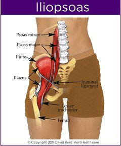 Proximally, the psoas major muscle attaches to the 12th thoracic and to all of the lumbar vertebral bodies and the corresponding intervertebral discs and the transverse processes of the lumbar vertebrae. The iliacus attaches proximally to iliac fossa, the sacrum and the anterior sacroiliac ligaments. Distally, the two tendons merge forming the iliopsoas tendon to attach onto the lesser trochanter of the femur.
