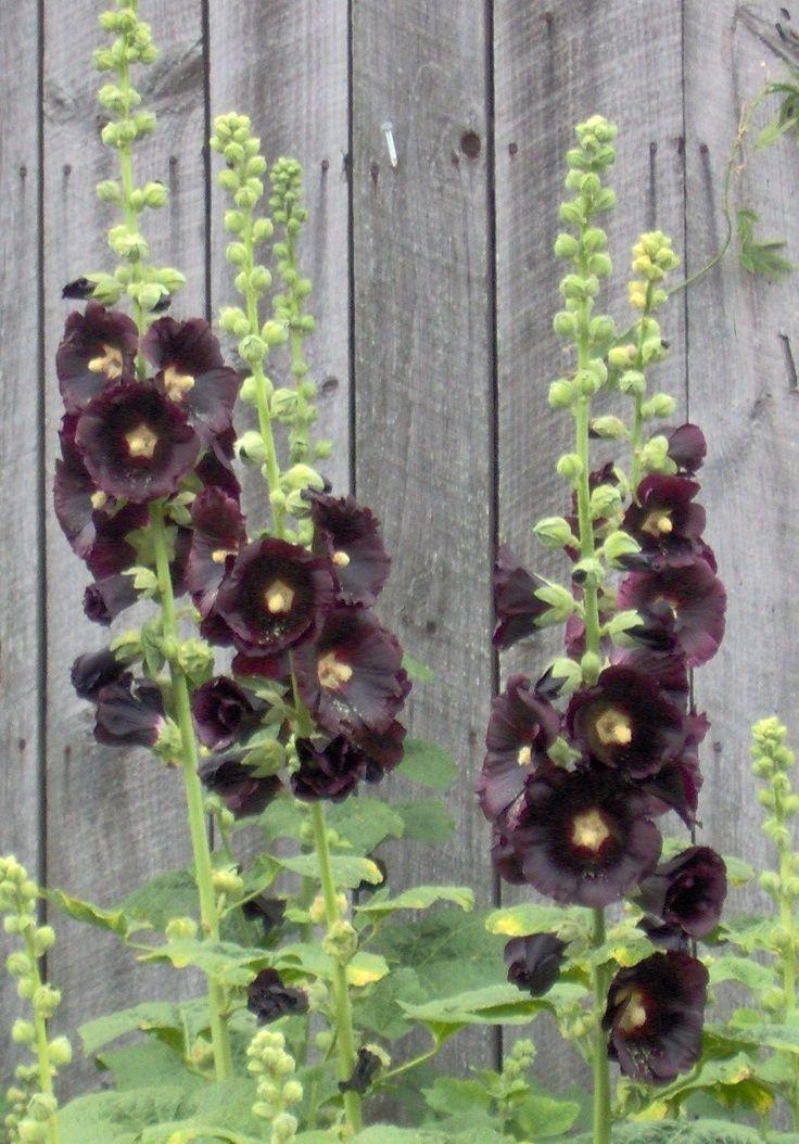 black hollyhocks, single (With images) Hollyhocks
