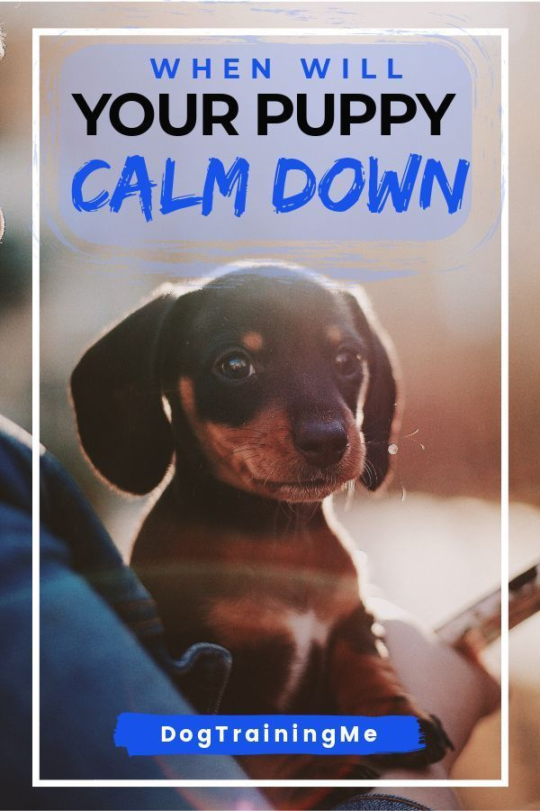 At What Age Do Puppies Calm Down Dog Training
