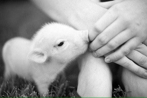BABY TEACUP PIG   Fav Piglets (@FavPiglets) | Twitter