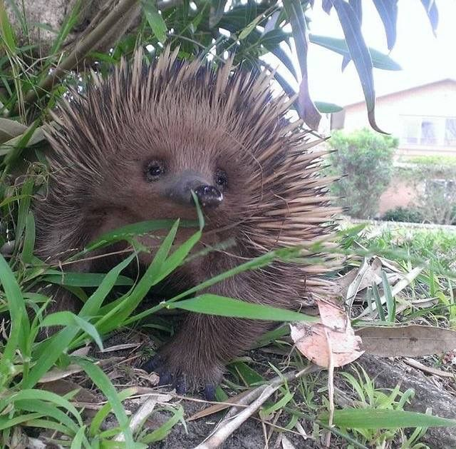 ECHIDNA....aka the spiny anteater....a monotreme (egg-laying mammal)  found in Australia and New Guinea