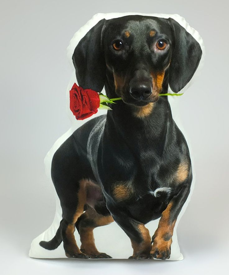 Take a look at this Black Dachshund With Rose Throw Pillow today!