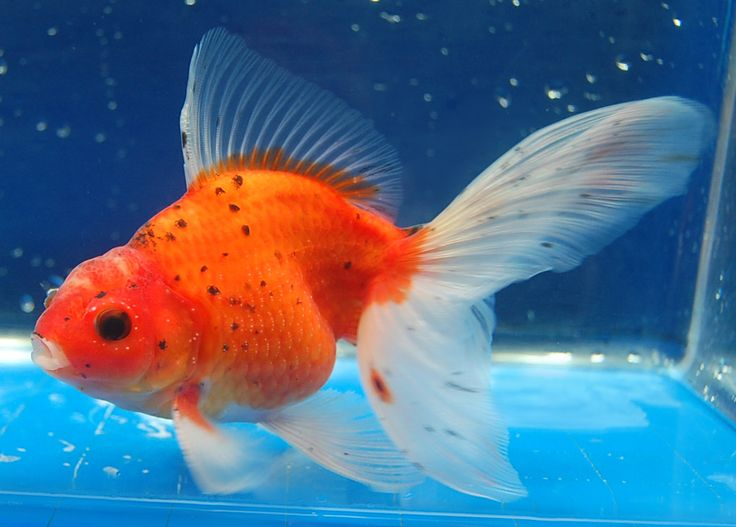 1318 best goldies betas koi images on pinterest aquarium for Fish suitable for small pond