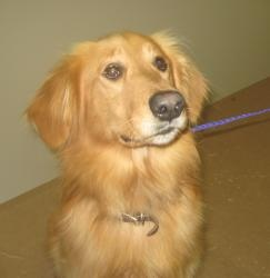 Ricky has been adopted! This is Ricky - 4 yrs. He is neutered & current on vaccinations. He would benefit from obedience class. Ricky is new to rescue & being vetted. He will be available for adoption soon. Ricky is at Sooner Golden Retriever Rescue, OK.