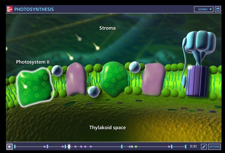One of the best photosynthesis animations on the web. This animation shows aspects of light energy, leaf structure, chloroplast structure, and stages of photosynthesis