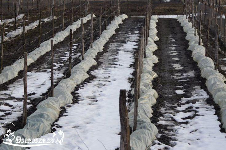 Если не знаете, как укрыть виноград на зиму, тогда читайте… Подготовка винограда…