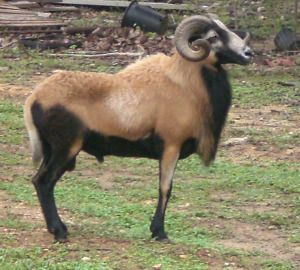 barbados black belly sheep images - Google Search