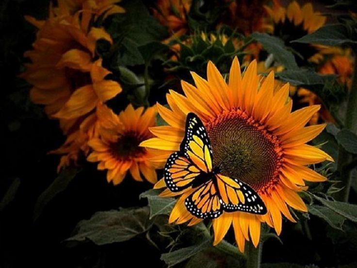 Mariposa Monarca sobre girasol!Nombre científico: Diogas erippus. Nombre común: Monarca Orden: Lepidoptera Familia: Danaidae Observaciones: Mide unos 90 mm. Especie migratoria.!!