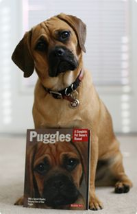 This is Puggle Preston.  He has his own website: www.prestonthepuggle.com.  There are fabulous pictures of him taken by his mommy and extremely funny videos.  Watch some videos when you have the time.  It truly is a treat...he really is amazing dog.  I wish my Rocco can do half the things he does.
