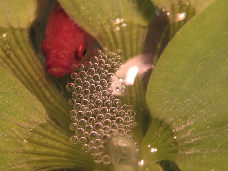 127 best images about betta things on pinterest green for Betta fish bubbles
