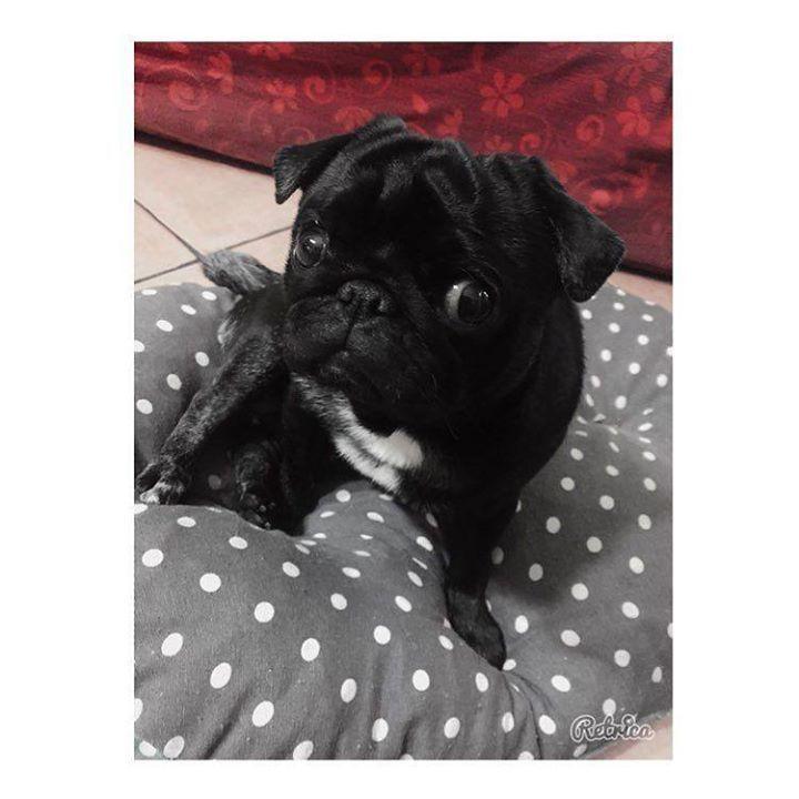 #buongiornocosì #vita #puglife #puglove #pugpuppy #beautifuldogs #cani #instadog #doglover #fantasylovers #doglovers #dogoftheday #carlino #pugstagram #pugs #puglife #cutedogs #fantasydogs #pugdog #dog #instadogs #dogofinstagram #dogtraining #funnydogs #dogs #pugcarlino #pugstyle #outfitpug #pugmob #pugworld #pugfamily   by vanessaemmanuele  http://bit.ly/teacupdogshq