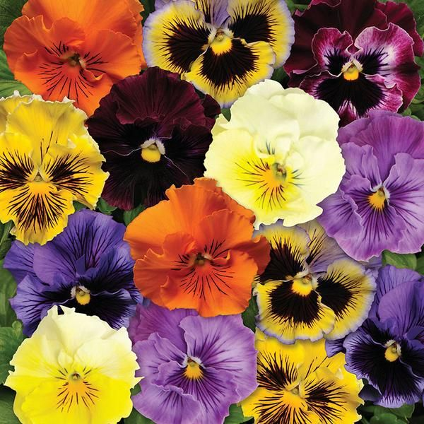 Pansy Frizzle Sizzle Mix Pansies Fancy Flowers Flower Seeds
