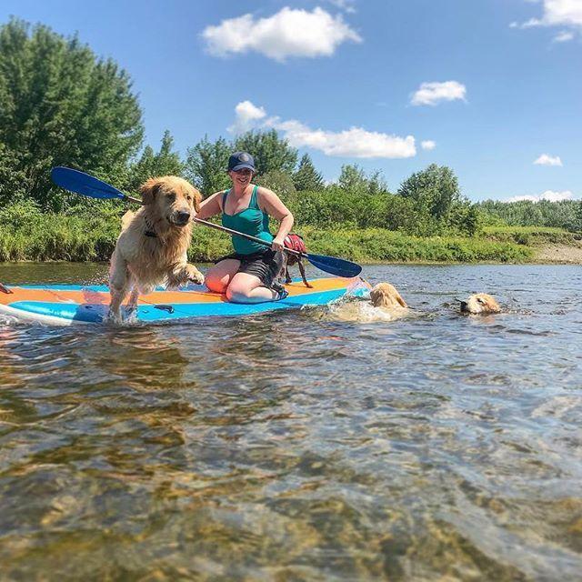Golden Retriever Puppy Jumping Off Standup Paddle Board In Maine Golden Retriever Jumping Puppy Jumps Dog Photos