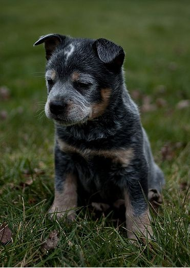 17 best ideas about blue heelers on pinterest puppy. Black Bedroom Furniture Sets. Home Design Ideas