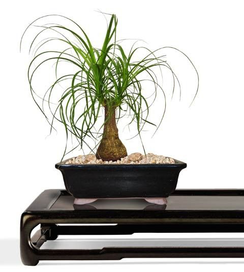 Ponytail Bonsai Tree - Small Bonsai Tree - Beaucarnea recurvata - Nolina recurvata (Web) Buy Bonsai Trees Plants - Buy Bonsai Plants Online RealBonsaiTrees.com or RealPalmTrees.com #Bonsais #DIY2015 #BonsaiTrees #MiamiBonsai #big #2015PlantIdeas #Summer2015Plants #Ideas #BeautifulPlant #DIYPlants #OutdoorLiving #decoratingareasideas