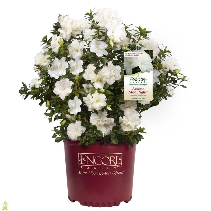 Autumn Moonlight™ Encore Azalea - Fast growing variety with white ruffled flowers. Great for container gardening on your back deck or patio. Blooms in spring, summer, and fall.