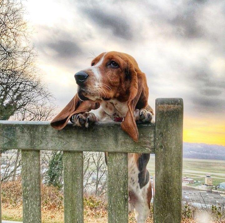 5 Calm Dog Breeds Best Family Dogs Basset Hound Mix Best Dogs