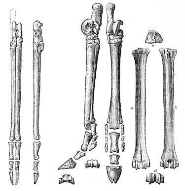 deer radius bone