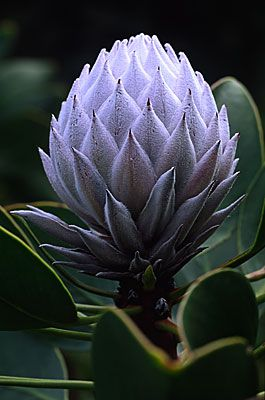 ✯ Protea 1413 .. By Andy Small✯