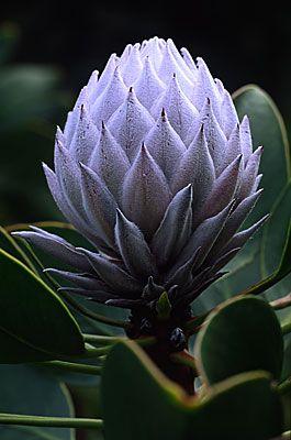 Grey Protea
