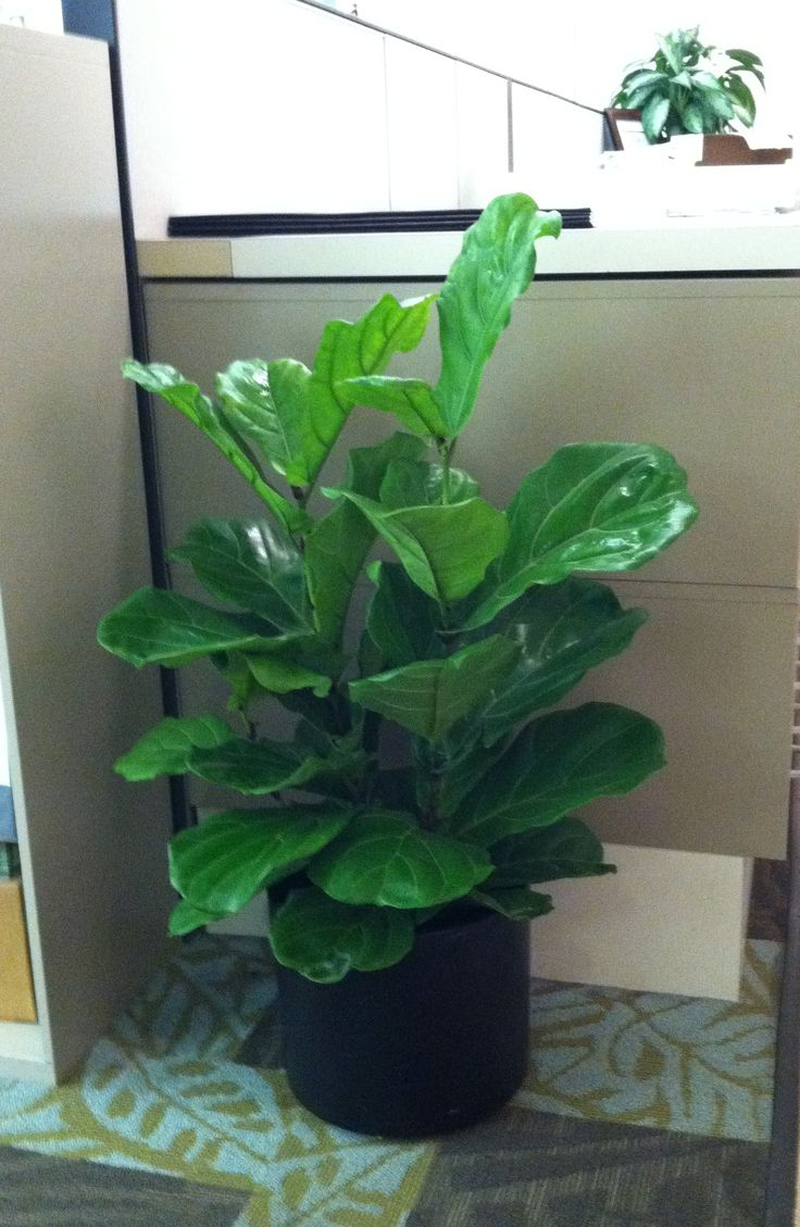 Easy care fiddle leaf ficus indoor plant plants and for Easy to take care of indoor plants