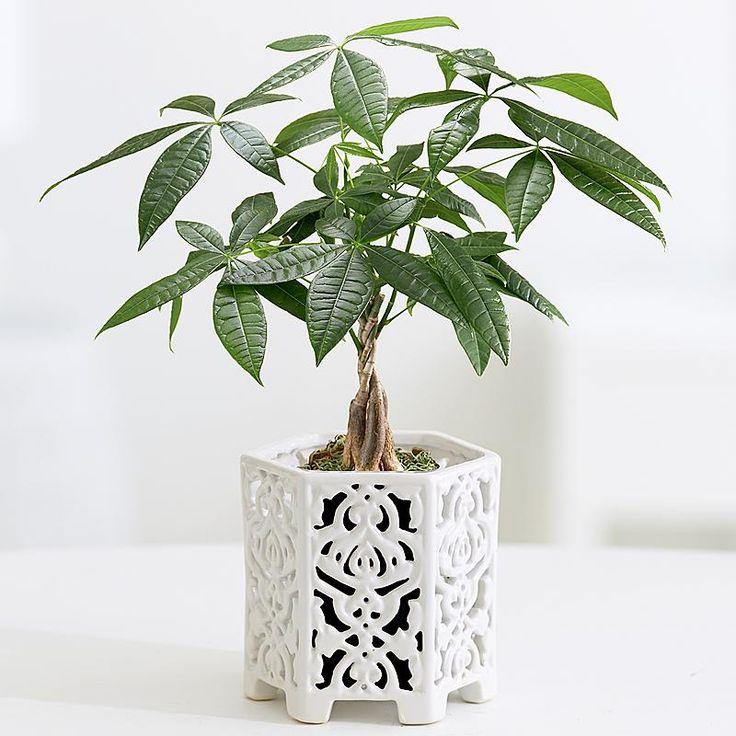 braided money tree best indoor