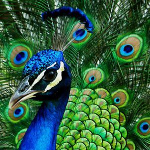 The awesome beauty of a peacocks feathers. Description from pinterest.com. I searched for this on bing.com/images