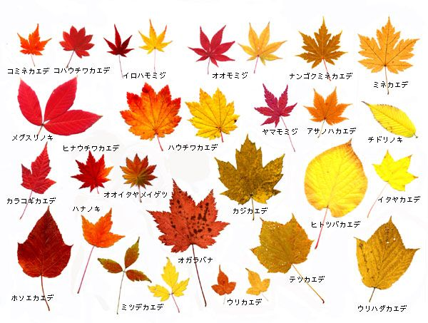 autumn colors of maple-leaves from Chubu district