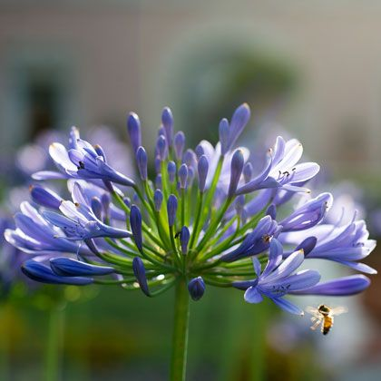 """Summer at www.villalalimonaia.it The name Agapanthus derives from ancient Greek, meaning """"flower of love"""". If love means that strong feeling, warm and imperishable, noble and willing, expressing joy and exuberance, then the name is right for it captures the characteristics of the plant and flower."""