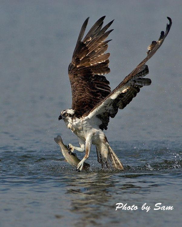"""Osprey, also known as """"Sea Hawk"""", the body can be 24 inches long and the wing span is 71 inches, it nests in any location as long as water is near, found on every contenant except Antarctica, the nest is a large heap of sticks, driftwood and seeweed built in forks of trees, rocky outcrops and utility poles, they mate for life"""