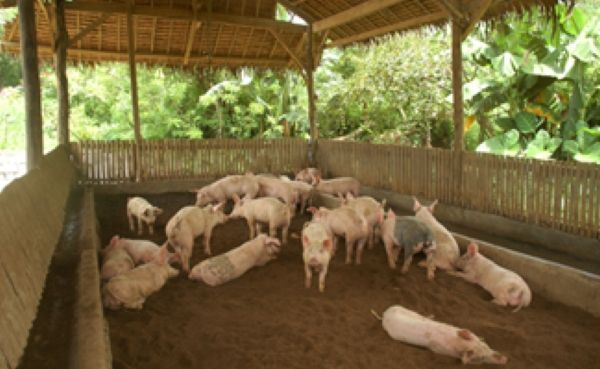 How to Open a Pig Farming Business