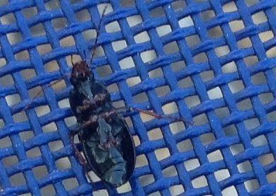 Meloidae lytta stigyca na zahradě