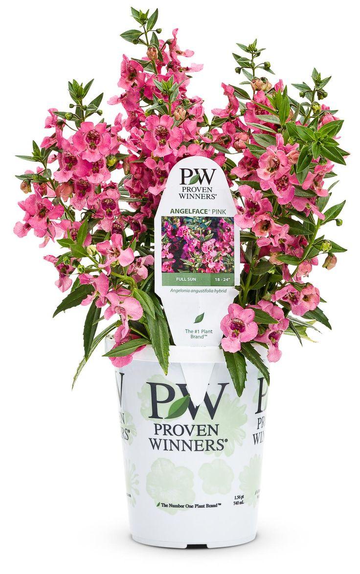 Proven Winners  Angelface� Pink  Summer Snapdragon  Angelonia  Angustifolia