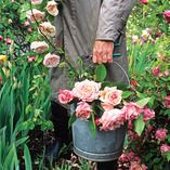 Tips for growing heirloom roses