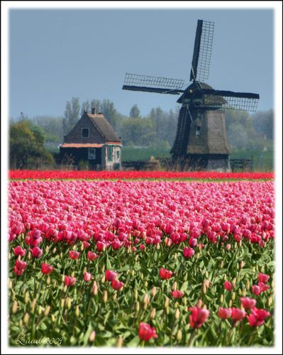 Holland, windmills & tulips