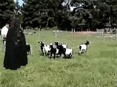 A field of Adorable Fainting Goats