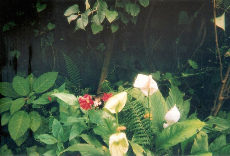 Tropical Wings, September 2016 #35mm #disposable #film #filmphotography #butterfly #nature